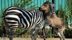 Nace un ceburro, cruce de cebra y burro, en un zoo de Crimea - ABC.es
