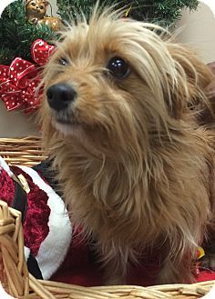 Decatur, AL - Yorkie, Yorkshire Terrier Mix. Meet Kenai, a dog for adoption. http://www.adoptapet.com/pet/12129808-decatur-alabama-yorkie-yorkshire-terrier-mix