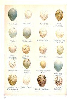 Bird Eggs   Egg size comparison, including Robin egg ...