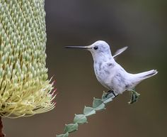 Rare White Hummingbird Steals the Spotlight at California Garden | Audubon  www.TexasTrim.net Bob Lewis Vietnam '68 PinterestBob