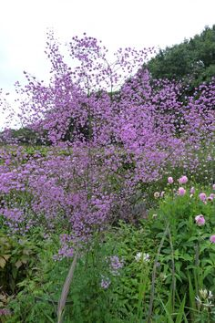 Thalictrum 'Delavayi' , love it