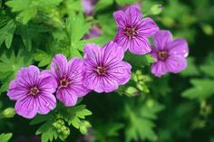 Read about the RHS Top 10 hardy geraniums with AGM status / RHS Gardening