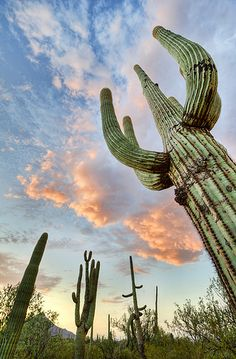 Saguaro cactus, Arizona - these cactus are huge and make a dramatic impact on the landscape