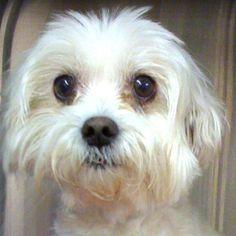 Maltese Adult Dogs | Angel the Maltese Wins a New Lease on Life | VirtuaVet