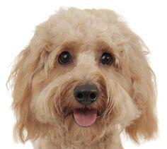 Those #Eyes!  <3! #Smeraglia #Goldendoodle #Puppy Learn more:  www.teddybeargoldendoodles.com #EnglishTeddyBearDoodle #DoodleDynasty #GodPeopleDogs #StrictlyDoodles