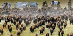 Custer State Park Buffalo Roundup - South Dakota - Travel & Tourism Site