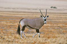 O Orix - animal símbolo da Namíbia