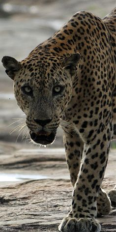 Lions, tigers and bears, oh my! Yala in Sri Lanka #happytails