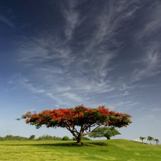 Red, Green and Blue by Carlos Gotay, via Puerto Rico Delonix Regia, Flame Tree, Two Trees, Lake Water, How To Grow Taller, Tree Photography, Nature Tree, Garden Trees, Growing Tree