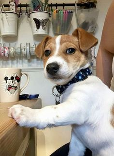 Jack Russell Terrier - A Dog in One Pack - Champion Dogs Jack Russell Terriers, Chien Jack Russel, Jack Russell Puppies, Jack Russell Mix, Fox Terriers, Terrier Puppies, Bull Terrier Dog, Cute Puppies, Dogs And Puppies