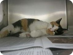 05/25/2016 CAT TO ADOPT Philadelphia, PA - Domestic Shorthair. Meet Louisa, a cat for adoption. http://www.adoptapet.com/pet/15573608-philadelphia-pennsylvania-cat