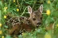 #capriolo #animaliSelvatici, #selvatici #roe
