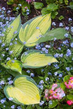 Hosta June with Begonia and forget-me-nots