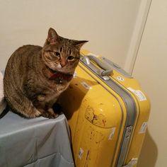 「mom! u wont leave me along anymore, rite?  マミー、もううめのこと、置いてきぼりにしないよね?  #ねこ #猫 #猫写真 #ネコ #しましま軍団 #キジネコ #キジトラ #cat #catstagram #instacat #neko #kitty #tabby…」