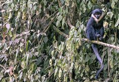 This is the L'Hoest's monkey! Also called mountain monkeys, they are endemic to eastern DR Congo, Burundi, Rwanda, and western Uganda. Reclassified from the Cercopithecus genus to Allochrocebus in 2013. Mostly ground-dwelling, they sleep in trees sitting upright, holding onto tree limbs or each other. Threatened by regional human conflicts, deforestation, and bushmeat hunting; populations are rapidly decreasing. They are Vulnerable. Read their story! Primates, Mammals, Hiding Spots, Fascinating Facts, Chimpanzee, Leopards, In The Tree, Black Bear, Republic Of The Congo