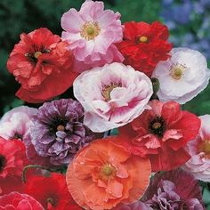 Poppy Dawn Chorus Mr Fothergills Range Seed - Irish Plants Direct