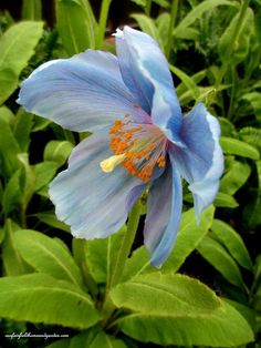 himalayan blue poppies a gardener s dream, gardening, Himalayan Blue Poppy Exotic Flowers, Love Flowers, Purple Flowers, Paper Flowers, Beautiful Flowers, Spring Flowers, Moon Garden, Blue Garden, Red Poppies