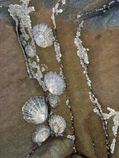Limpets clinging onto rocks in Bude, Cornwall