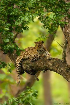 Common Leopard (Panthera pardus)