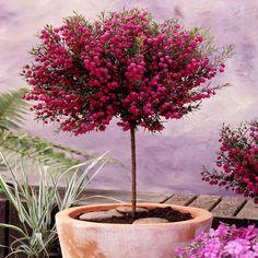 Szczepiona boronia - 1 krzew