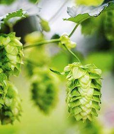 Hops, Chinook .Unique matrix of flavor and aromatics.