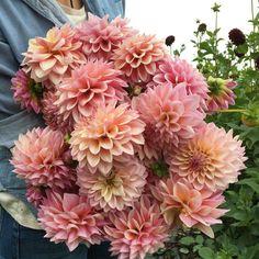 An up close look at Dahlia 'Castle Drive'. Beautiful Flowers Wallpapers, Dahlia Flower, Flower Quotes, Diy Wedding Flowers, Flower Farm, Dream Garden, Flower Making, Garden Inspiration, Garden Ideas