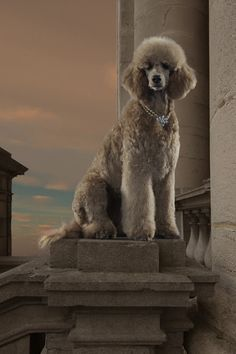 Poodle Dog Breed History.click the picture to read