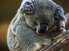 Your Emergency Squee: Sleepy Koalas | HLNtv.com