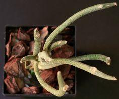 Astrophytum caput-medusae della famiglia delle Cactacee