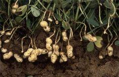 HOW TO GROW PEANUTS |The Garden of Eaden