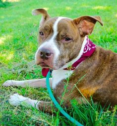 SAFE 6-24-2016 by Imagine Pet Rescue  --- SUPER URGENT Manhattan Center TRIXI – A1076957 FEMALE, RED / WHITE, AM PIT BULL TER MIX, 8 yrs OWNER SUR – EVALUATE, NO HOLD Reason NYCHA BAN Intake condition EXAM REQ Intake Date 06/10/2016 http://nycdogs.urgentpodr.org/2016/06/trixi-a1076957/