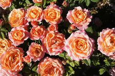 Happy Home - Ludwig's RosesLudwigs Roses