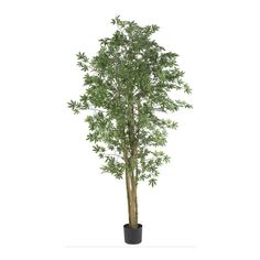 Japanese Maple Silk Tree - 6 Feet Tall >>> Want to know more, click on…