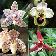 PhalaenopsisOphrysPaphiopedilumMaxillaria.jpg