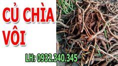Bộ phận làm thuốc: Tất cả các phần lá, thân, rễ củ (Radix Cissi) đều có thể dùng làm vị thuốc với nhiều hình thức sơ chế khác nhau. Sơ chế: Đối với dây lá sau khi thu hái sẽ đem cắt ngắn đoạn 2 – 3 cm, rửa sạch và sao nóng rồi phơi khô. Mỗi khi dùng thường đem ra tẩm với rượu và sao lại hoặc ngâm trực tiếp với nước vo gạo. Đối với phần rễ củ thì đào về rồi tiến hành rửa sạch đất cát bên ngoài. Sau đó ngâm nước qua đêm cho mềm rồi thái mỏng và phơi khô. Youtube, Youtubers, Youtube Movies