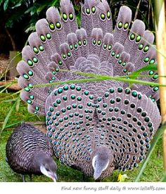 .Gray peacock.    t