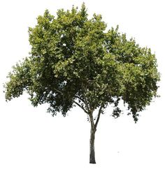 4687 x 4813 Pixels png, with transparent background. Platanus occidentalis American Sycamore, American Planetree, Occidental Plane; Native to North America. Usually called sycamore in North America. In its native range, it is often found in riparian and wetland areas. The sycamore is able to endure the urban environment and is extensively planted as a shade tree in streets and parks.