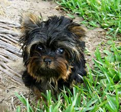 Toy Yorkie Puppy For Sale New York City Mini Yorkshire Terriers Breeder Massachusetts Teacup Miniature Yorkie Puppies, Mini Yorkie, Toy Yorkie, Yorkie Puppy For Sale, Puppies For Sale, Yorkshire Terrier Breeders, Basic Dog Training, Shelter Dogs, Teacup