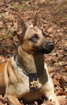 Major is a Belgian Malinois serving in Montana. - policemag.com - POLICE Magazine.  Looks like my son's Police Dog, Alec who passed away after 8 years of service.  He won awards for tracking.