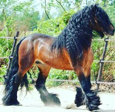 Bay horse with lush black mane, tail and leg feathers.