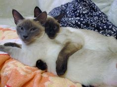 ... SEAL POINT SIAMESE CATS on Pinterest   Siamese, Siamese Cats and Seals