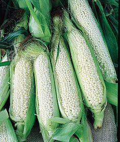 Plant produces heavy yields of delicious sweet white corn. Ears are long and have white kernels. It is one of the most unusual sweet corn varieties because the white kernels are arranged irregularly, not in rows. Popcorn Seeds, Corn Maize, Cucumber Seeds, Backyard Vegetable Gardens, Pepper Seeds, Sweet Corn, Garden Seeds, Easy Garden, Fruits And Veggies