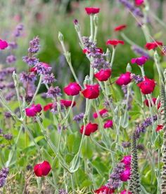 Lychnis Coronaria, Rose Campion, Rabbit's Ears, Crown Pink, Mullein Pink, Dry soil plant, deer resistant plant, AGM plant