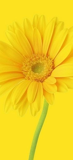 A beautiful yellow gerbera daisy. Yellow Flowers, Beautiful Flowers, Yellow Sunflower, Pastel Flowers, Exotic Flowers, Jaune Orange, Yellow Brick Road, Deco Floral, Shades Of Yellow