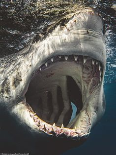 Great white sharks' terrifying jaws captured in incredible underwater photos - World News - Mirror Online Deadly Animals, Dangerous Animals, Shark Diving, Shark Swimming, Whale Sharks, Padi Diving, Scuba Diving, Animals Beautiful, Cute Animals