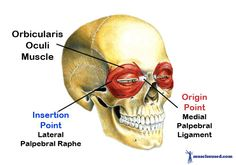 THE-ORBICULARIS-OCULI-MUSCLE-