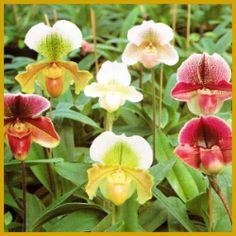 Vermehrung von Orchideen, verschiedene Möglichkeiten.  Vermehrung von Orchideen, es gibt verschiedene #Vermehrungsmöglichkeiten für #Orchideen, am einfachsten ist es, Pflanzen durch Teilung zu vermehren  http://www.gartenschlumpf.de/vermehrung-von-orchideen/