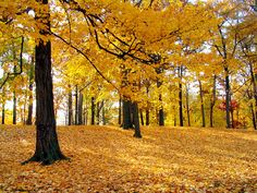 Yellow Forest - Autumn Trees - autuamn trees, autumn, autumn trees, bosque, fall, forest, leaves, snow, tree, trees, yellow