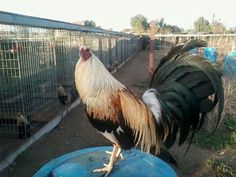 Giro Game Fowl, Roosters, Animals And Pets, Surfing, Coral, Passion, Birds, Horses, Fish