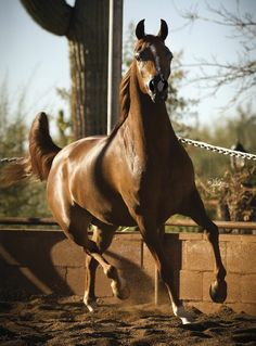 Aria Qatars Angel :: Arabian horses of Aria International - Arabian horses, stallions, mares, colts, fillies, for sale